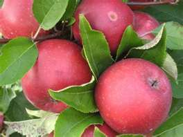 Apples fresh from the orchard are available now at Wilson's Farm Market; pumpkins and pumkin pie are coming soon