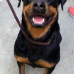 Bree the Rottweiler mix, Tommy the cat and rabbit named Kitty are Pets of the Week at the Humane Society of Harford County