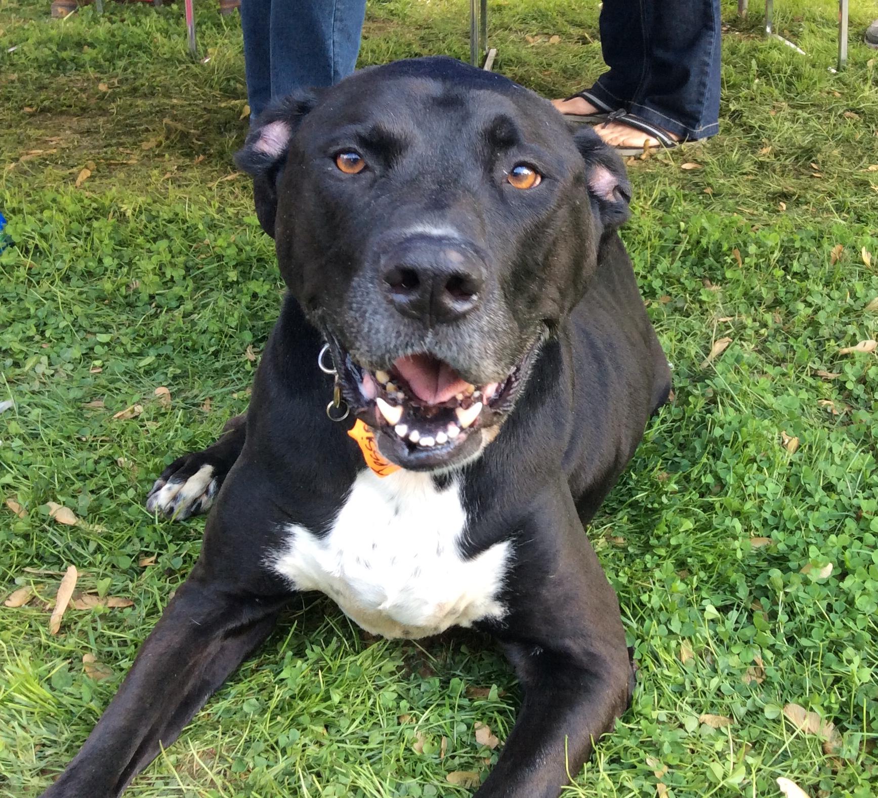 Pics Photos - Liveleak Dog Fight Great Dane Pit Bull