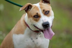 Buttercup the American Pit Bull Terrier mix, Penny the cat and a Guinea Pig named Guinea are Pets of the Week at the Humane Society of Harford County